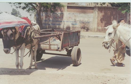 donkey_cairo.jpg